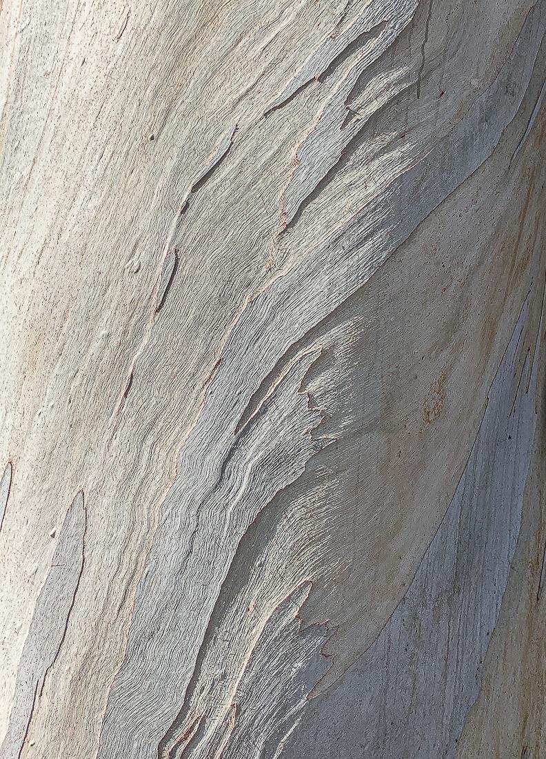 WW-Eucalyptus-7776