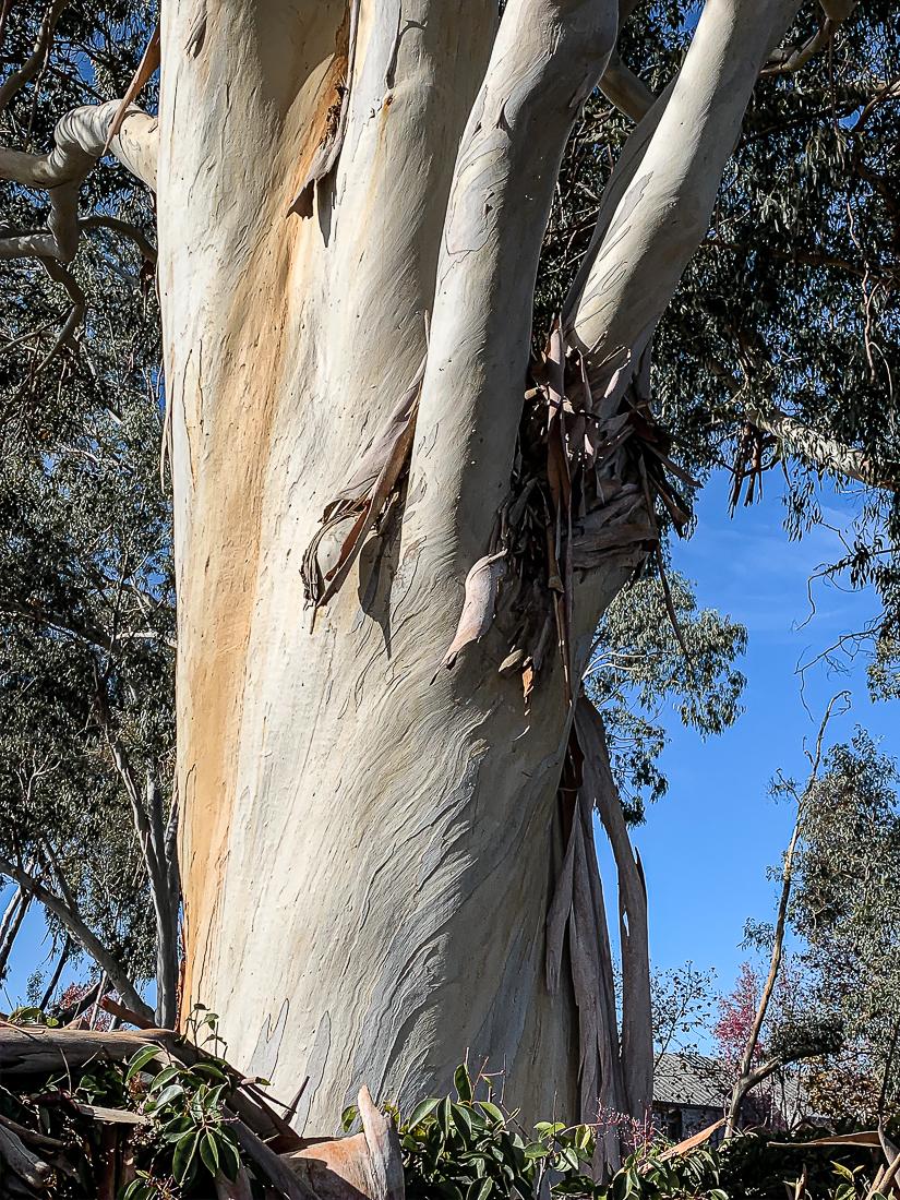 WW-Eucalyptus-7778