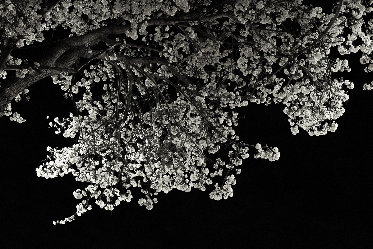 Spring blossoms-night time-city lights-0113