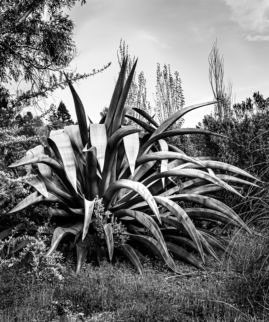 MM-Maguey b&w-0006-3