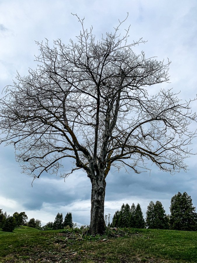 WW-Bare tree -8690