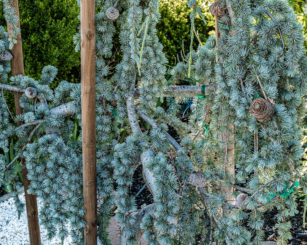 L-A Blue Deodar Cedars-0152