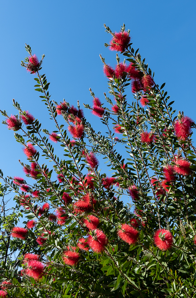 WW-Red flower bush-0554