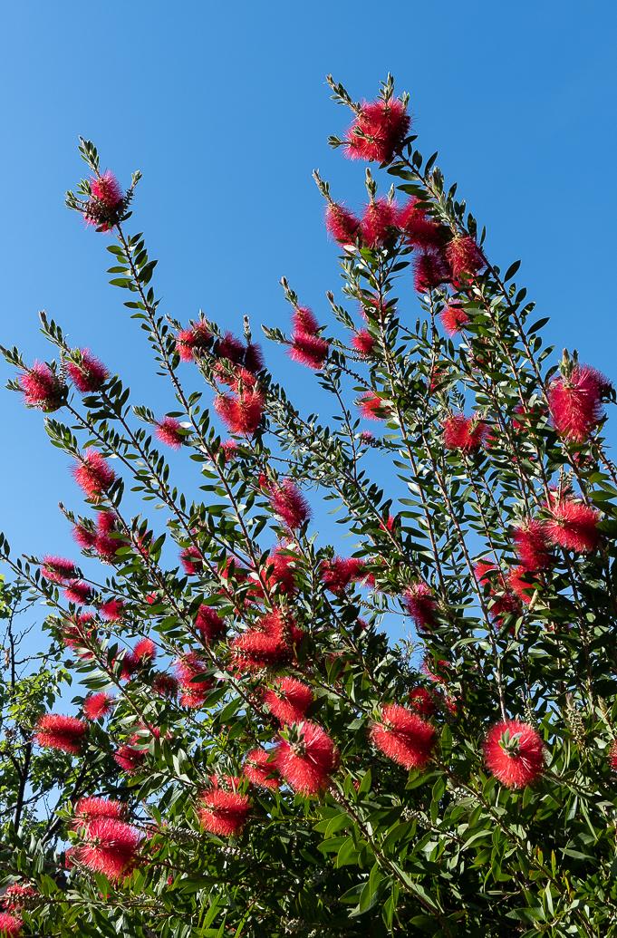 WW-Red flower bush-0554