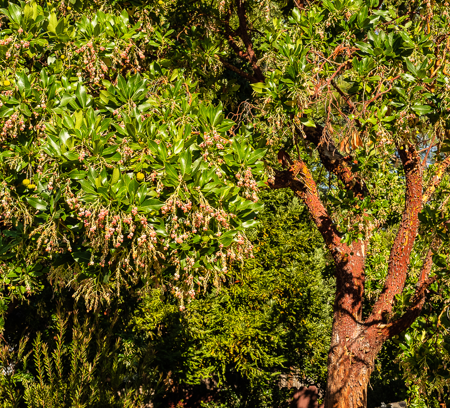 Flowering Madrone-0011-2
