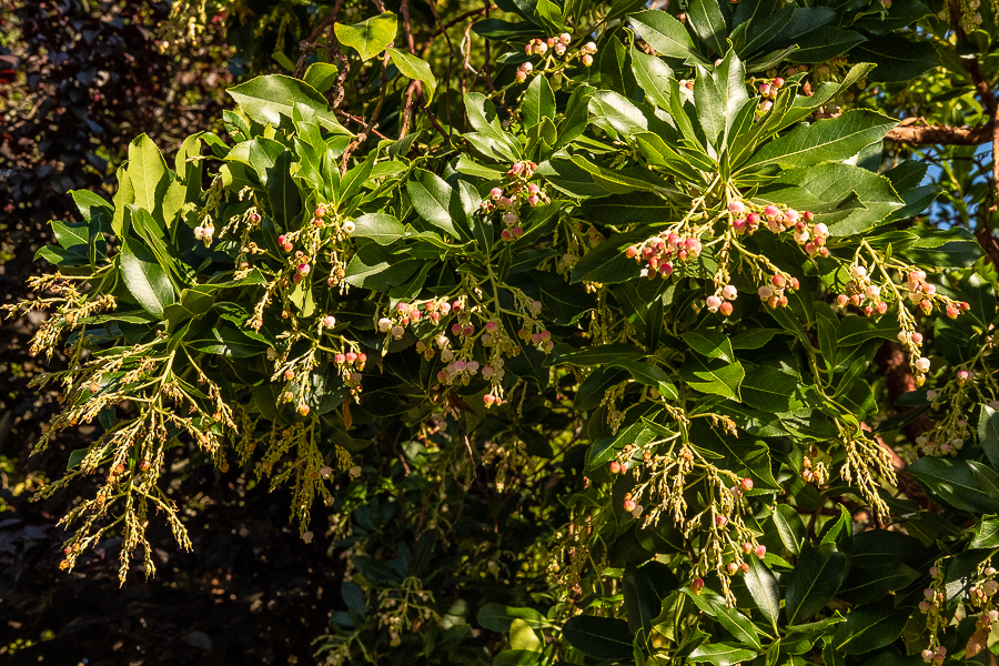 Flowering Madrone