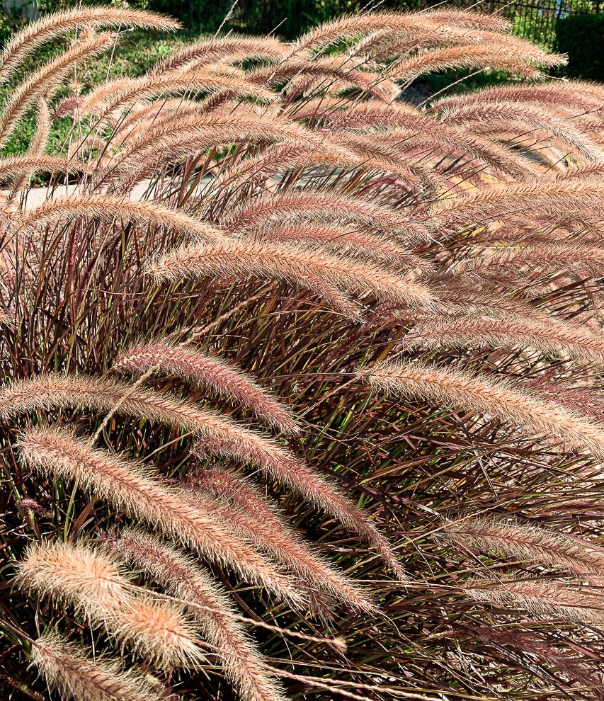 WW-Brush like plants, San Ramon-9643