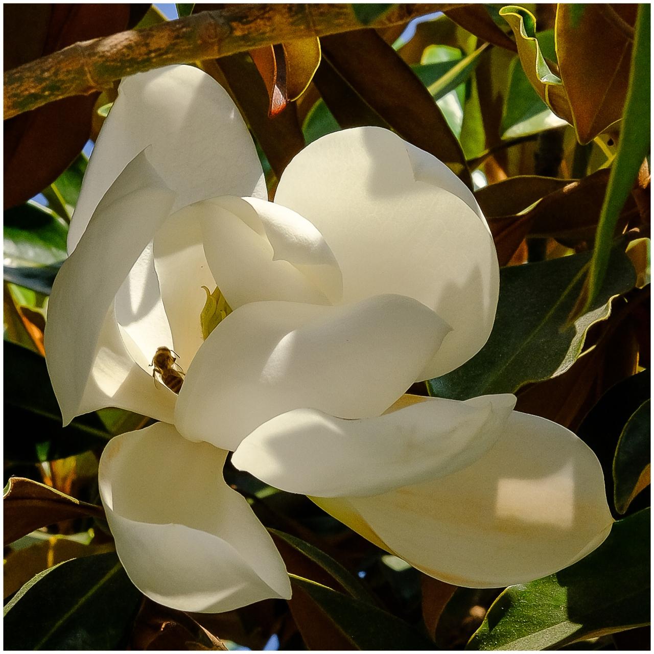 Magnolia and abee